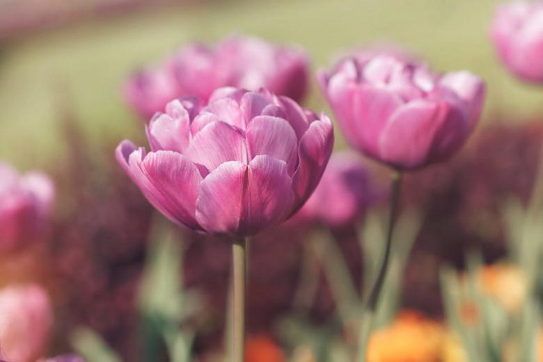 Tulipa Blue Diamond,Tulip 'Blue Diamond', Double Late Tulip 'Blue Diamond', Double Late Tulips, Spring Bulbs, Spring Flowers,Tulipe Blue Diamond, Double Late Tulip, Purple Tulip