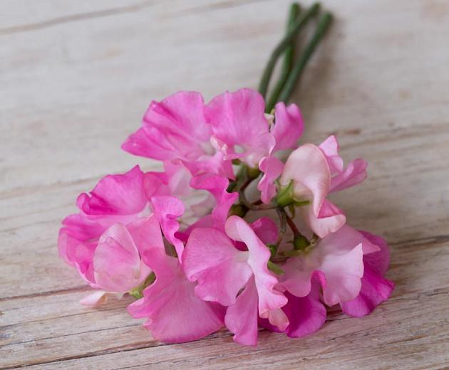 Lathyrus Odoratus 'Mrs Bernard Jones',Sweet Pea 'Mrs Bernard Jones', Fragrant Flowers, Pink Flowers, Annuals, Annual plant, Cut flowers, deer resistant flowers
