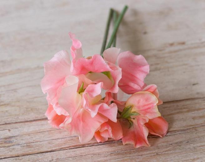 Lathyrus Odoratus 'Apricot Queen',Sweet Pea 'Apricot Queen', Fragrant Flowers, Apricot Flowers, Orange Flowers, Annuals, Annual plant, Cut flowers, deer resistant flowers