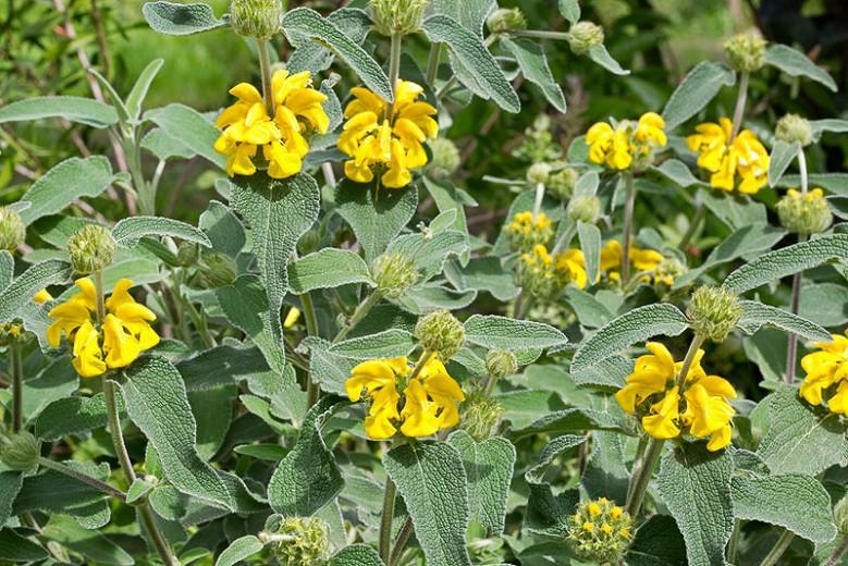 Phlomis fruticosa, Jerusalem Sage, Jupiter's Distaff, Yellow Clary, Deer resistant perennials, Yellow perennials