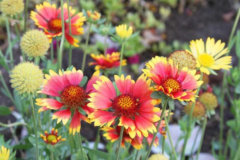 Gaillardia 'Goblin',Blanket Flower 'Goblin', Gaillardia x Grandiflora 'Goblin', Blanket Flowers, Red Flowers, Bicolor Flowers, Drought tolerant flowers, Salt tolerant flowers