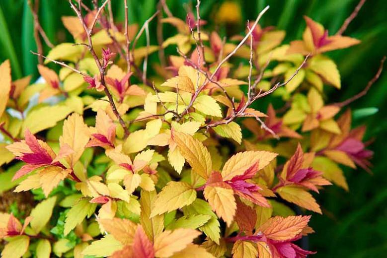 Spiraea japonica 'Goldflame', Japanese Spirea 'Goldflame', Spiraea x bumalda 'Goldflame', Goldflame Spirea, Goldflame Japanese Spirea, Yellow Spirea, Pink Flowers