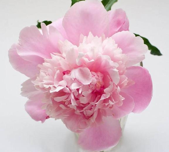 Paeonia Lactiflora 'Sorbet', Peony 'Sorbet', 'Sorbet' Peony, Chinese Peony 'Sorbet', Common Garden Peony 'Sorbet'', Pink Peonies, Pink Flowers, Fragrant Peonies