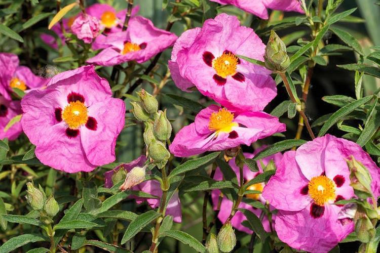 Cistus Purpureus,  Purple-Flowered Rock Rose, Cistus × purpureus 'Betty Taudevin', Mediterranean plants, Mediterranean shrubs, Pink flowers, Purple Flowers,Orchid Rockrose