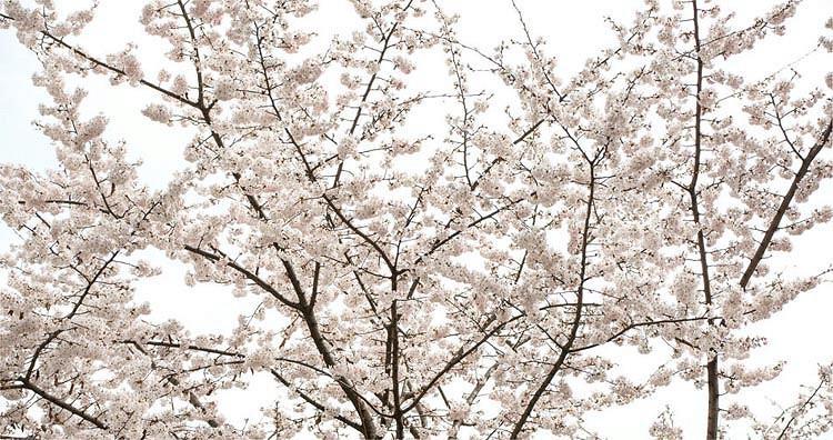 Prunus × yedoensis 'Somei-Yoshino', Japanese Flowering Cherry 'Somei-Yoshino', Yoshino Cherry, Potomac Cherry, Tokyo Cherry, Flowering Shrub, White flowers