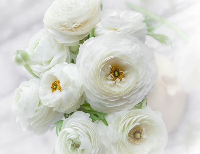 Persian buttercup Tecolote White, Ranunculus Asiaticus Tecolote White, Turban Buttercup Tecolote White, Persian Crowfoot Tecolote White, spring flowering bulb, fall flowering bulb, White flowers, White Ranunculus