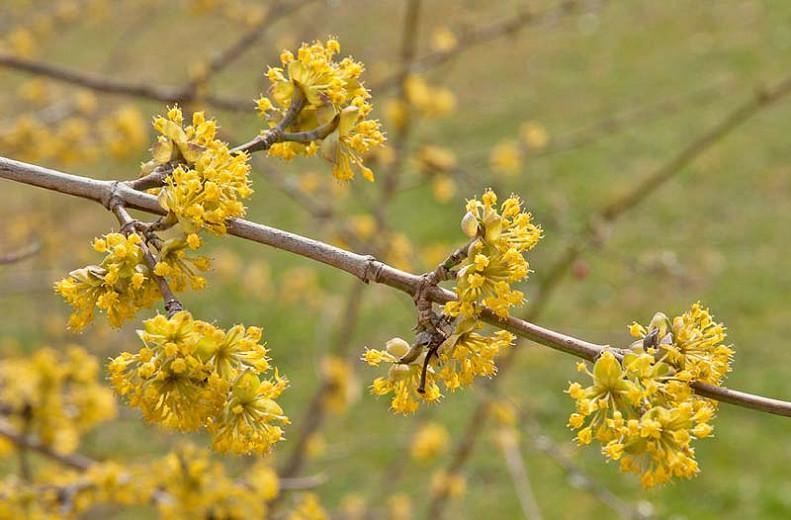Cornus mas, Cornelian Cherry, Cornel, Sorbet  Edible Dogwood, Yellow Flowers,  Winter Flowers