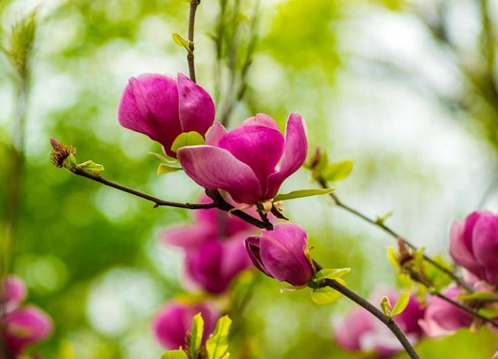 Magnolia × soulangeana Lennei, Lennei Saucer Magnolia, Lennei Tulip Magnolia, Lennei Chinese Magnolia, Red magnolia, Pink magnolia, Winter flowers, Spring flowers, Red flowers, Pink flowers, fragrant flowers