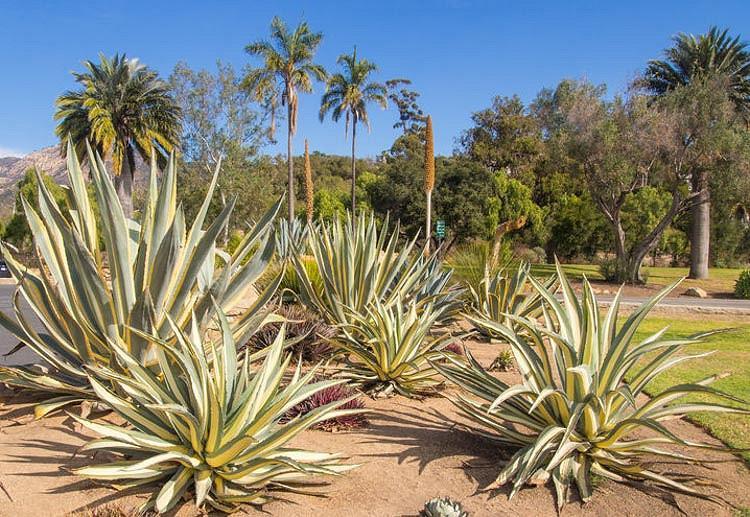 Agave Americana 'Mediopicta Aurea', Century Plant 'Mediopicta Aurea', American Aloe, Century Plant, Maguey, Flowering Aloe, Spiked Aloe