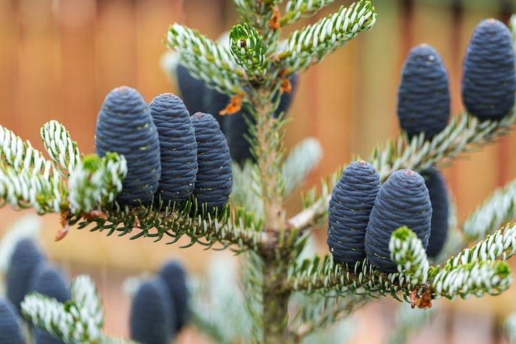 Abies koreana, Korean Fir, Evergreen Conifer, Evergreen Shrub, Evergreen Tree