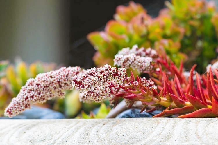 Crassula capitella 'Campfire', Campfire Crassula, Crassula 'Blaze', Crassula 'Flame', Red succullent, red crassula, drought tolerant plant, Mediterranean plant