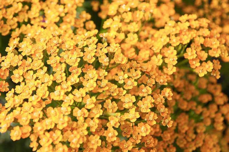 Achillea 'Inca Gold',Yarrow 'Inca Gold', 'Inca Gold' Yarrow, Achillea Millefolium 'Inca Gold', Achillea Millefolium, yarrow plant, yarrow flower, summer perennial, drought tolerant perennial, orange flowers, yellow flowers