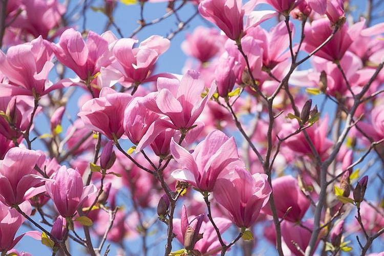 Magnolia 'Galaxy', Galaxy Magnolia, Pink magnolia, Winter flowers, Spring flowers, Pink flowers, fragrant trees, fragrant flowers