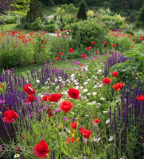 Salvia Nemorosa Caradonna, Salvia Caradonna, Sage Caradonna, award-winning salvia, Balkan Clary Caradonna, Steppe sage Caradonna, Salvia x Sylvestris 'Caradonna'