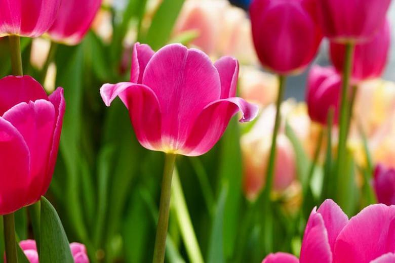 Tulipa Barcelona,Tulip 'Barcelona', Triumph Tulip 'Barcelona', Triumph Tulips, Spring Bulbs, Spring Flowers, Tulipe Barcelona, Triumph Tulip, Tulipe Triomphe, Purple tulips, Pink tulips