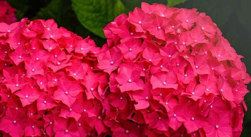 Hydrangea Macrophylla 'Charm', Bigleaf Hydrangea 'Charm', Mophead Hydrangea 'Charm', Hortensia 'Charm', Red Hydrangea, Red Hortensia