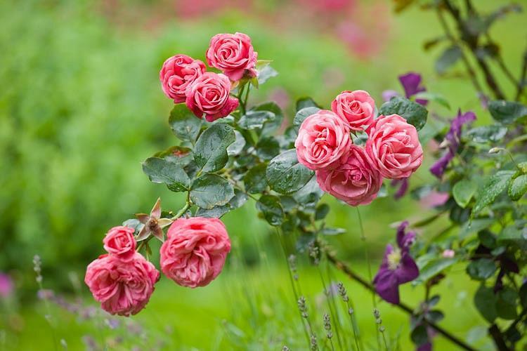 Rose 'Pink Perpetue', 'Pink Perpetue', Rosa 'Pink Perpetue', Climbing Rose 'Pink Perpetue', Climbing Roses, Large Flowered Climbing Rose, Floribunda Roses, Pink roses, fragrant roses