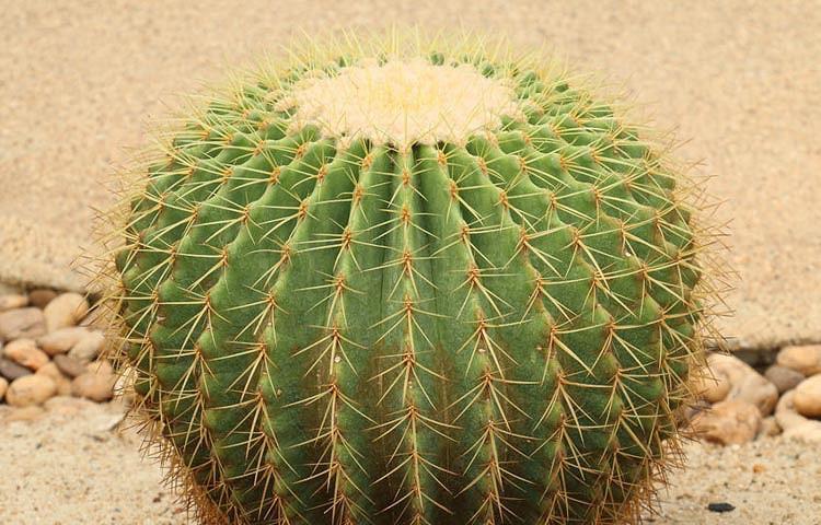 Echinocactus grusonii, Golden Barrel Cactus, Mother-in-law's Seat, Golden Ball Cactus, Golden cactus, Cactus