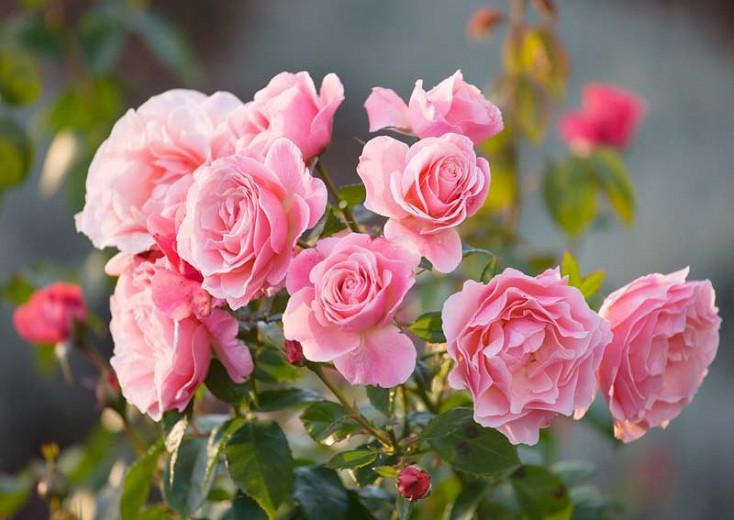 Rose 'Tickled Pink',Rosa 'Tickled Pink', Rose 'Fryhunky', Rosa 'Fryhunky', Rosa 'Diane de Ribes', Rose 'Diane de Ribes', Shrub Roses, Floribunda Roses, Pink Roses, AGM Roses, Best Pink Roses