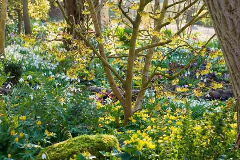 Eranthis Hyemalis, Winter Aconite, Winter Hellebore, Winter Wolf's Bane, Aconitum Hyemale, yellow flowers, Early spring flower, Late winter flower