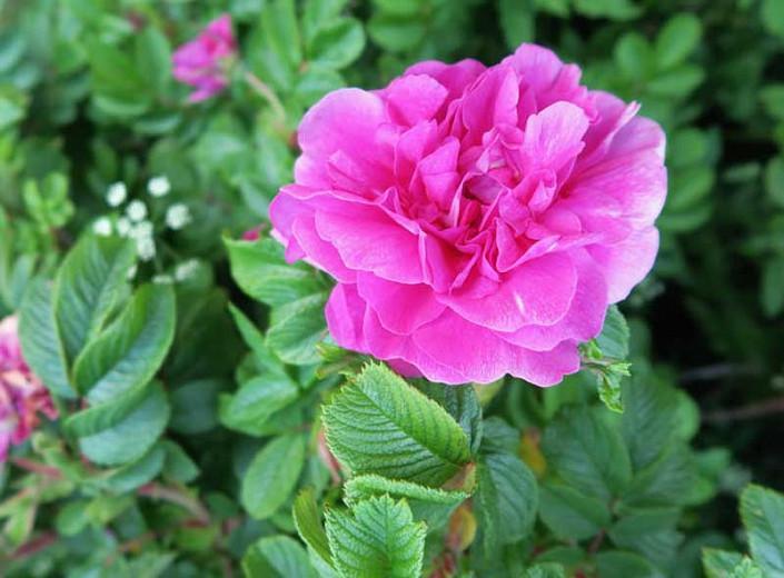Rosa Rugosa 'Hansa', Rose 'Hansa', Rosa 'Hansa', Shrub Roses, Wild Roses, Rugosa Hybrids, Shrub roses, pink roses, Hardy roses