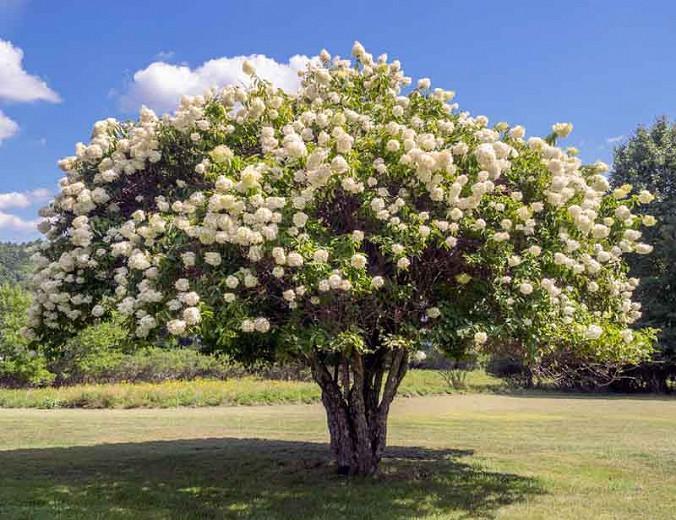 Hydrangea Paniculata 'Grandiflora', Hydrangea 'Grandiflora', Grandiflora Hydrangea, White Flowers, White Hydrangea, Hydrangea 'Pee Gee'
