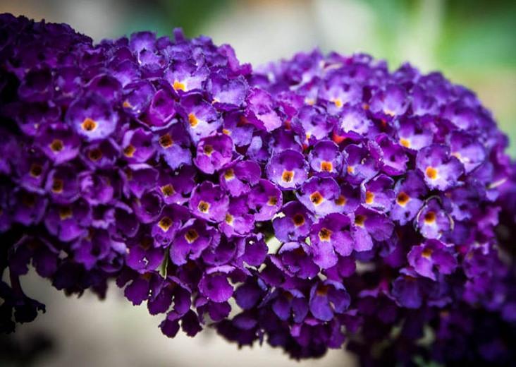 Buddleja davidii 'Buzz Midnight', Butterfly Bush 'Buzz Midnight', Summer Lilac 'Buzz Midnight', deciduous shrub, Purple flowers, fragrant shrub, Purple Butterfly Bush