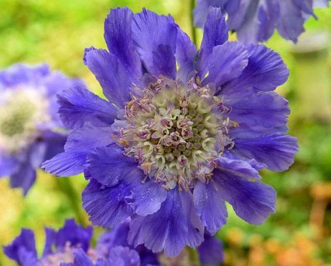 Scabiosa caucasica 'Fama Deep Blue', Pincushion Flower 'Fama Deep Blue', Caucasian Scabious 'Fama Deep Blue', Garden Scabious 'Fama Deep Blue', Blue Flowers