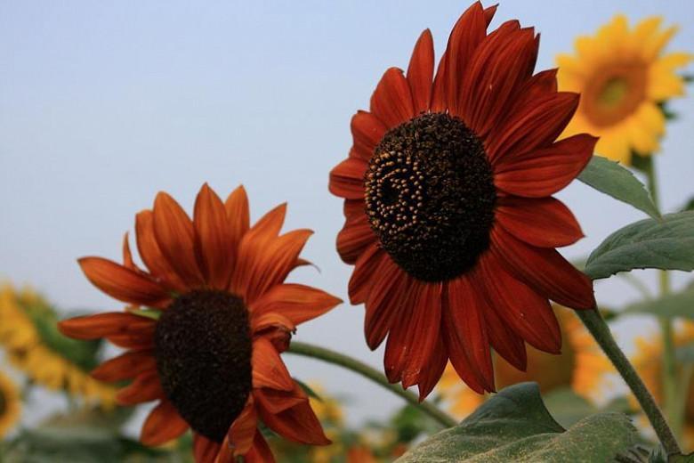 Helianthus annuus Claret, Common Sunflower Claret, Comb Flower Claret, Golden Flower of Peru Claret, St Bartholomew's Star Claret, Dark Flowers, Red Perennials, Red Sunflowers