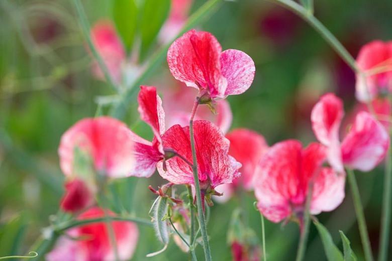 Lathyrus Odoratus 'America',Sweet Pea 'America', Fragrant Flowers, Red Flowers, Pink Flowers, Annuals, Annual plant, Cut flowers, deer resistant flowers