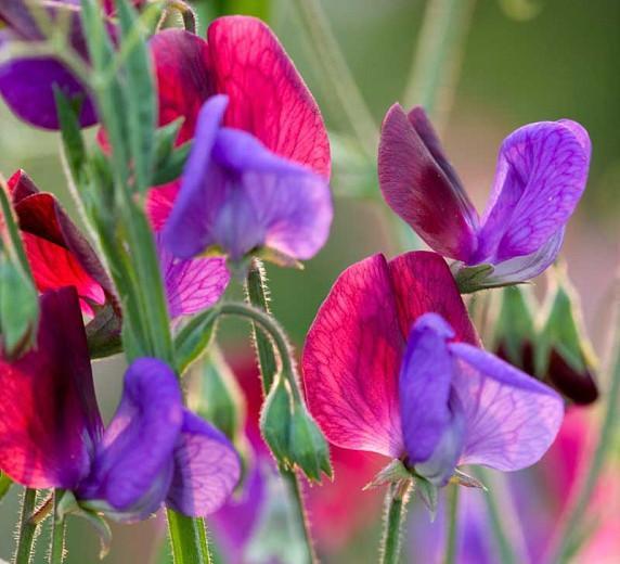 Lathyrus Odoratus 'Matucana',Sweet Pea 'Matucana', Bicolor Flowers, Fragrant Flowers, Red Flowers, Purple Flowers, Annuals, Annual plant, Cut flowers, deer resistant flowers