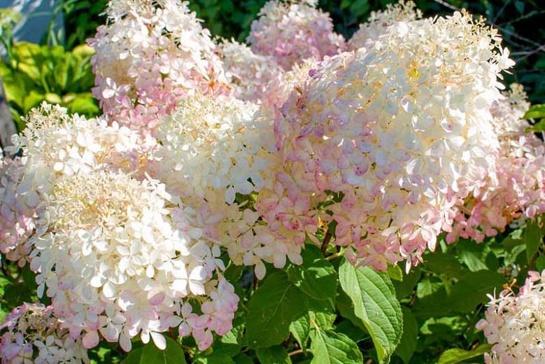 Hydrangea Paniculata 'Phantom', Hydrangea 'Phantom', Phantom Hydrangea, Panicle Hydrangea 'Phantom', Paniculate Hydrangea 'Phantom', White Flowers, White Hydrangea