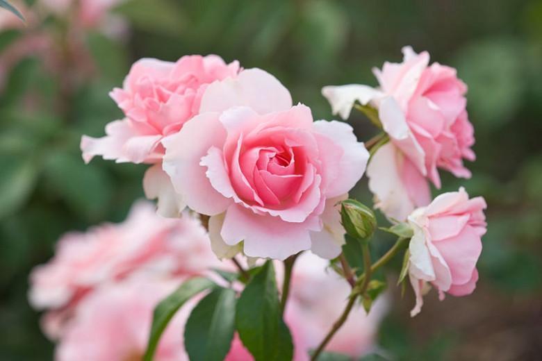 Rose 'You're Beautiful',Rosa 'You're Beautiful', Rose 'Fryracy', Rosa 'Fryracy', Rosa 'Love Always', Rose 'Love Always', Shrub Roses, Floribunda Roses, Pink Roses, AGM Roses, Best Pink Roses