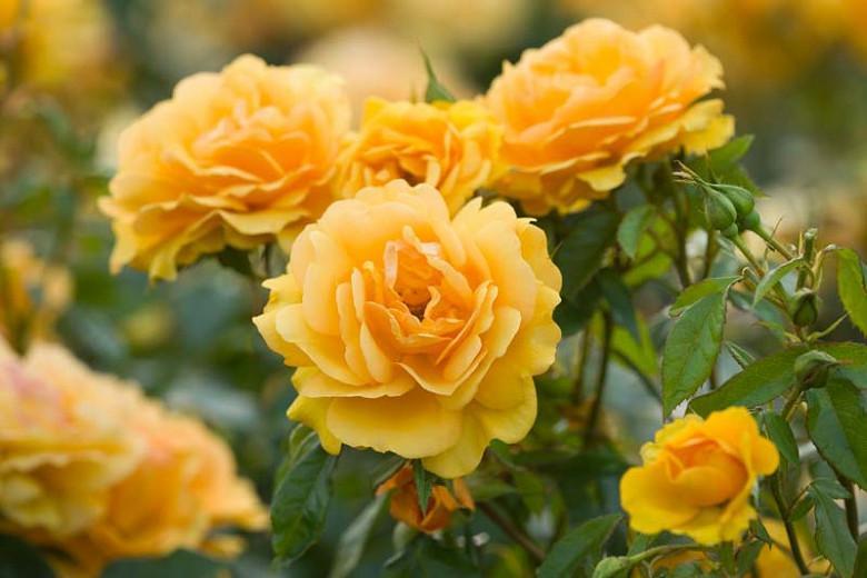 Rose 'Golden Beauty',Rosa 'Golden Beauty', Rose 'Korberbeni', Rosa 'Korberbeni', Floribunda rose 'Golden Beauty', Rosa 'South Africa', Shrub Roses, Floribunda Roses, Yellow Roses, AGM Roses, Best Yellow Roses
