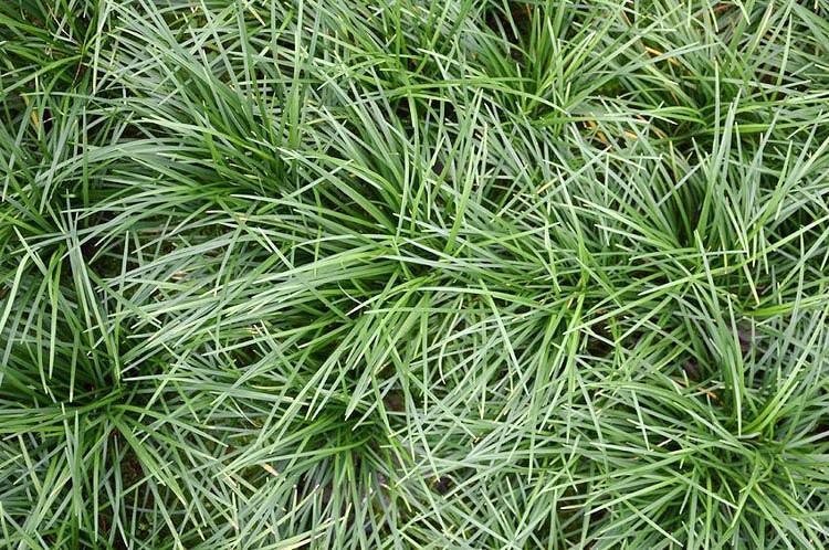 Ophiopogon japonicus, Mondo Grass, Dwarf Liyturf, Dwarf Mondo Grass, Japanese Lilyturf, evergreen grass