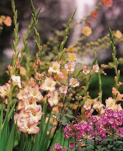 Sword Lily 'Priscilla', Gladiola 'Priscilla', Gladiolus x Hortulanus 'Priscilla'