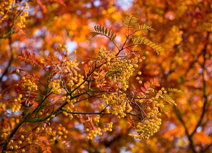 Sorbus 'Joseph Rock', Mountain Ash 'Joseph Rock', Small Tree, Yellow fruit, Yellow berries, Winter fruits, Fall Foliage