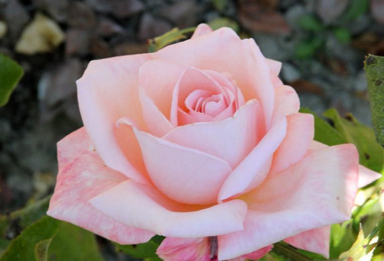 Rosa 'New Zealand', Rose 'New Zealand', Rosa 'Aotearoa',Rosa 'Aotearoa New Zealand', Rosa 'MACgenev', Hybrid Tea Roses, Shrub Roses, Pink roses, Shrub roses, Rose bush