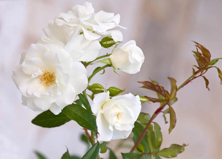 Rose 'Iceberg', Rosa 'Iceberg', Floribunda Rose 'Iceberg', Cluster Rose 'Iceberg', Rosa 'Korbin', Rosa 'Fee des Neiges', Rosa 'Schneewittchen', White roses, very fragrant roses, Shrub roses, Rose bushes, Climbing Roses, Garden Roses