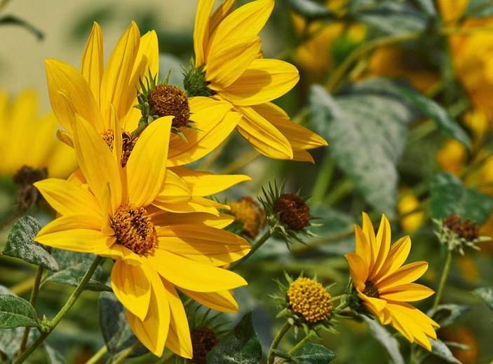 Helianthus maximiliani, Maximilian Sunflower, Perennial Sunflower, Perennial Helianthus, Yellow Flowers, Yellow Perennials