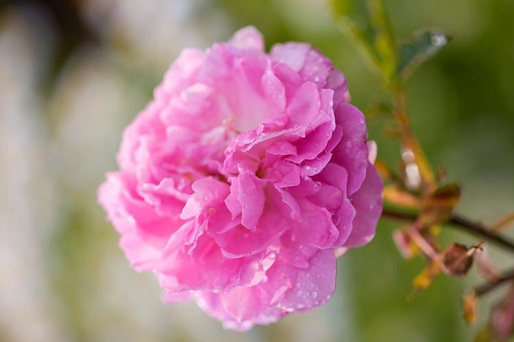 Rose 'Dorothy Perkins', 'Dorothy Perkins', Rosa 'Dorothy Perkins', Climbing Rose 'Dorothy Perkins', Climbing Rose 'Dorothy Perkins', Climbing Roses, Rambler Roses, Floribunda Roses, Wichurana Roses, Pink roses, fragrant roses