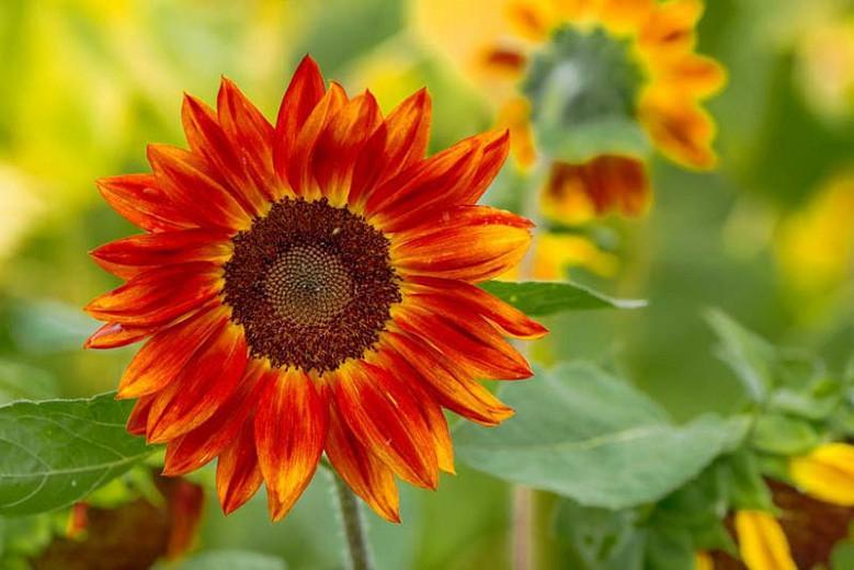 Helianthus annuus Evening Sun, Common Sunflower Evening Sun, Comb Flower Evening Sun, Red Flowers, Red Perennials, Red Sunflowers, Orange Flowers, Orange Perennials, Orange Sunflowers