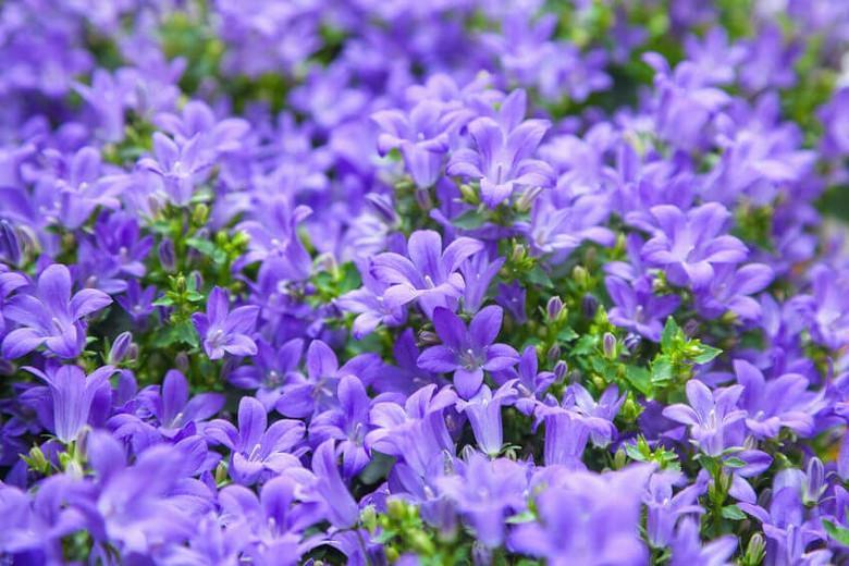 Campanula portenschlagiana, Dalmatian Bellflower, Wall Bellflower,  Adria Bellflower, Campanula muralis, Violet flowers, Purple flowers, Lavender flowers, groundcover