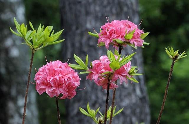 Rhododendron 'Homebush','Homebush' Rhododendron, 'Homebush' Azalea, 'Homebush' Deciduous Azalea, Late Midseason Azalea, Knap Hill and Exbury Azaleas, Pink Azalea, Pink Rhododendron, Pink Flowering Shrub