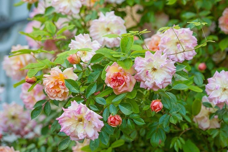 Rosa François Juranville, Rose François Juranville, Rosa 'François Juranville', Rambler Roses, Hybrid Wichurana Roses, agm roses, Fragrant roses, Shrub roses, pink roses, Climbing Roses, fragrant roses