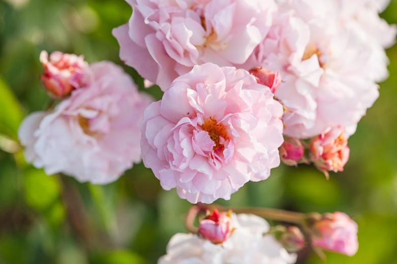 Rosa 'Cornelia, Rosa 'Cornelia', Hybrid Musk Roses, Shrub Roses, agm roses, Fragrant roses, pink roses, Climbing Roses, fragrant roses