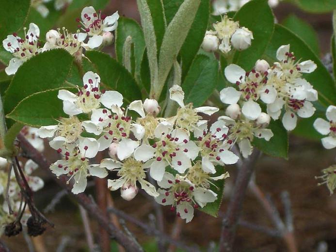 Aronia Arbutifolia Brilliantissima, Red Chokeberry, Red Chokeberry 'Brilliantissima', 'Brilliantissima' Chokeberry, Photinia pyriflolia