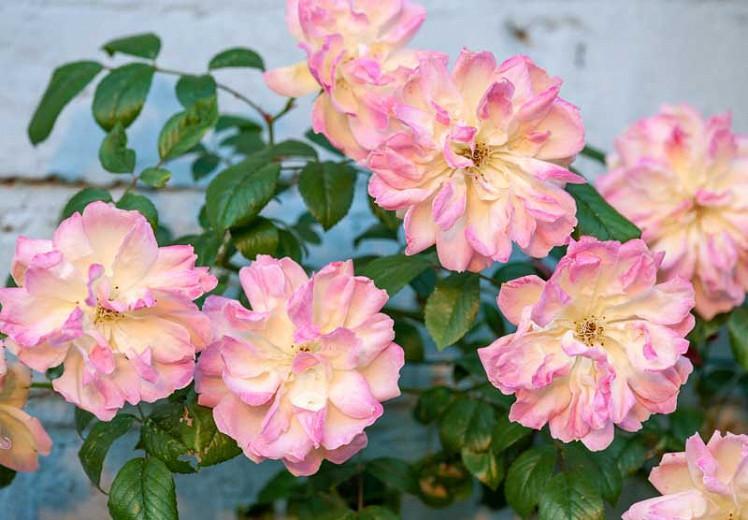 Rosa Phyllis Bide, Rosa 'Phyllis Bide', Rambler Roses, Polyantha Roses, agm roses, Fragrant roses, Shrub roses, yellow roses, pink roses, Climbing Roses, fragrant roses