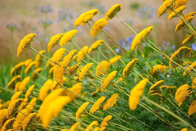 Achillea Moonshine, Yarrow Moonshine, AGM Yarrow, summer flowering perennial, drought tolerant perennial, yellow flowering perennial