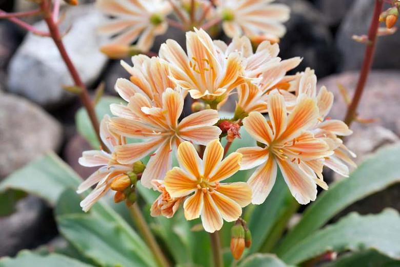 Lewisia cotyledon 'Elise Mixed', Siskiyou Lewisia 'Elise Mixed', Cliff Maids 'Elise Mixed', hardy succulent, evergreen perennial, Alpine wildflower